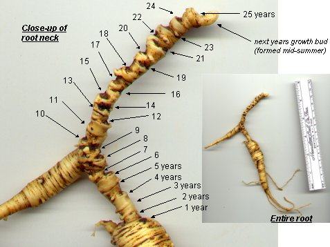 close-up of ginseng root neck